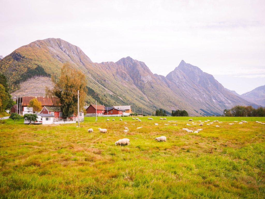 Sheep in Urke, Norway
