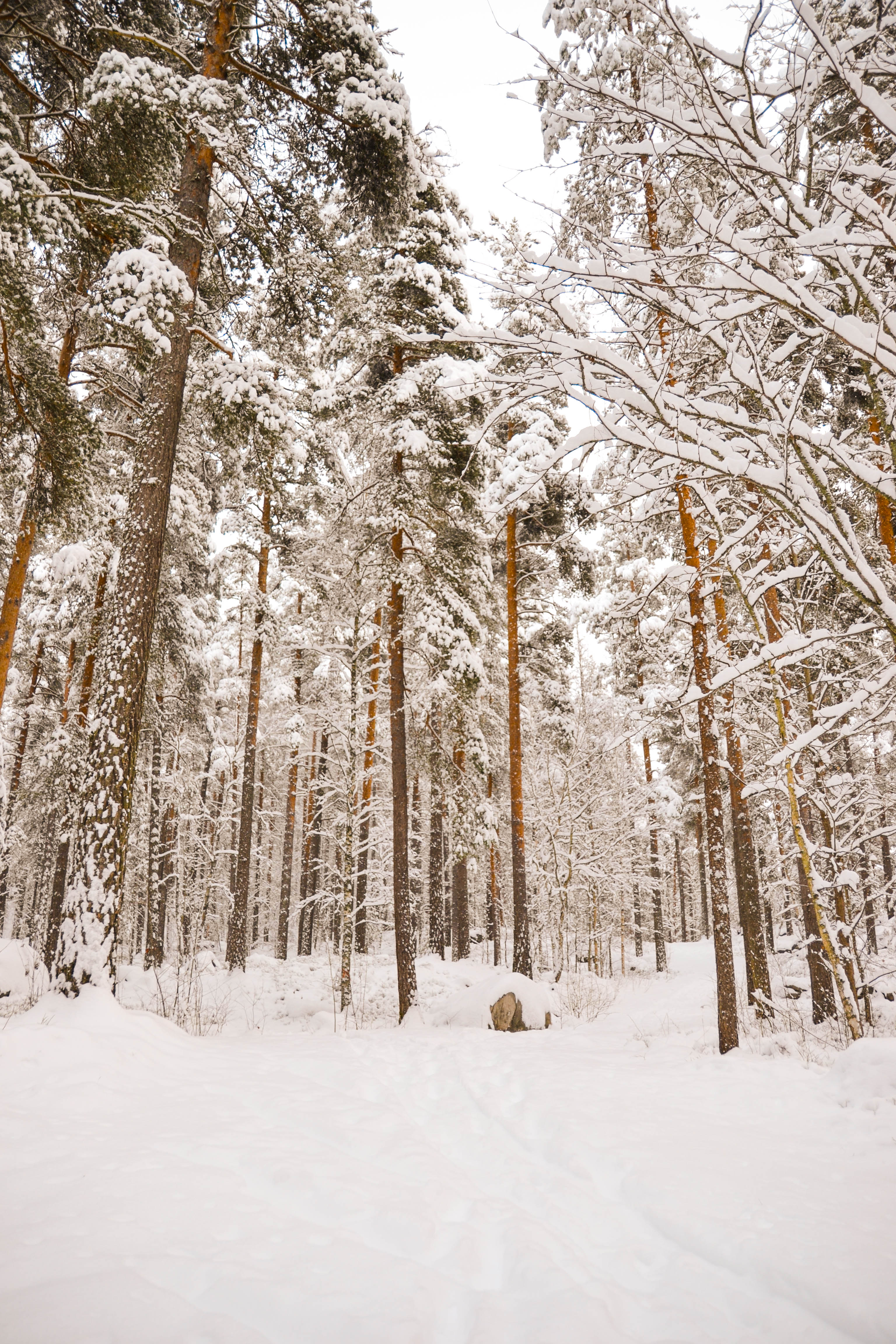 Wintry Swedish Forest