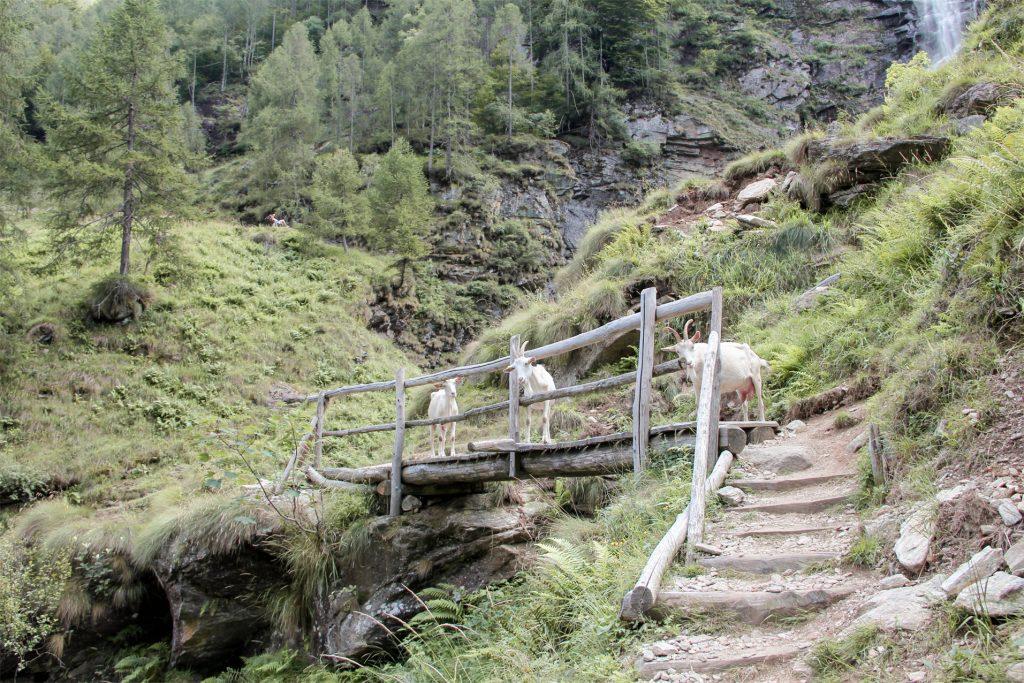 La Froda Waterfall Goats, Verzasca Valley, Ticino, Switzerland